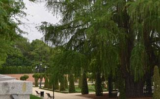 ¿Dónde está el árbol mas viejo de Madrid?